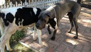 Goliath-vaca-cree-perro_MDSIMA20151106_2593_21