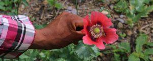 asi-cultivan-amapola-los-indigenas-guerrero-sobrevivir-submundo-narco-1463594541